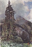 The large pine in Gastein, 1900, altrudolf