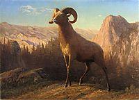 A Rocky Mountain Sheep, Ovis, Montana, c.1879, bierstadt