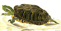 Painting of Trachemys scripta elegans (Wied), 1865, bodmer