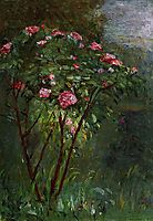 Rose Bush in Flower, 1884, caillebotte