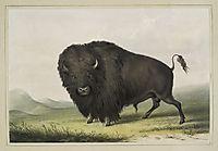 Buffalo Bull Grazing, 1845, catlin