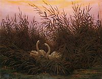 Swans among the reeds at the first Morgenro, friedrich