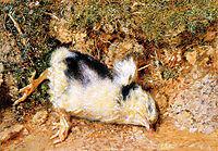 John Ruskin-s dead chick, hunt