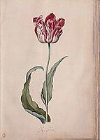 Tulip, c.1643, leyster