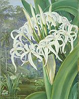 A Bornean Crinum, 1876, north