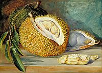 Durian Fruit from a Large Tree, Sarawak, Borneo, 1876, north