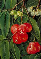 Flowers and Fruit of the Jamboa Boll, Java, 1876, north