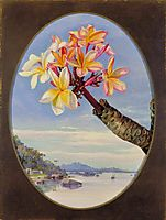 Flowers of Jasmine Mango or Frangipani, Brazil, 1873, north