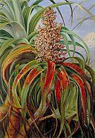 A New Zealand Dracophyllum, 1880, north