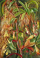 Seychelles Pitcher Plant and Bilimb Marron, 1883, north