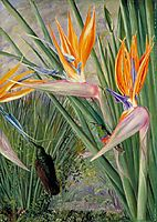 Strelitzia and Sugar Birds, South Africa, 1882, north