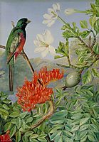 Two Flowering Shrubs of Natal and a Trogon, 1882, north