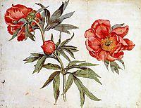 Study of Peonies, 1472, schongauer