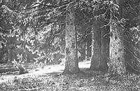 Fir in the Shuvalov Park, 1886, shishkin