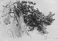 Part of the trunk of a pine. Mary-Howe, 1890, shishkin