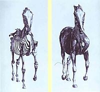 Frontal view of the skeleton of a horse, study No. 10 from -The Anatomy of the Horse-, 1766, stubbs