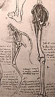 Drawing of the comparative anatomy of the legs of a man and a dog, c.1500, vinci