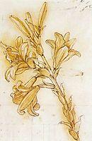 Lily, 1480-1485, vinci